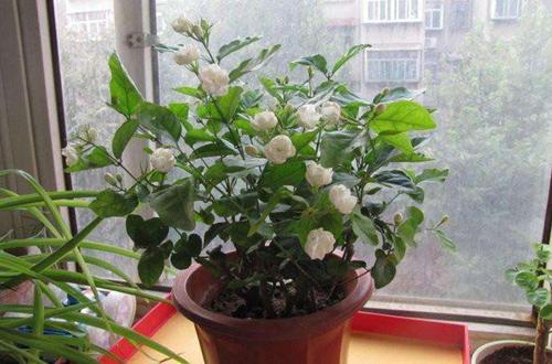为什么冬天花移到室内会掉叶子 冬天花移到室内后掉叶子怎么办(图-室内盆栽