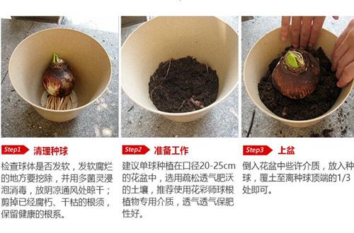 洋水仙种植深度要多少 洋水仙种球种植方法(图