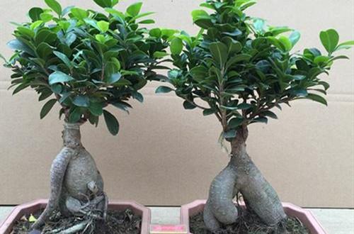 榕树烂根是什么原因引起的?还能救吗?